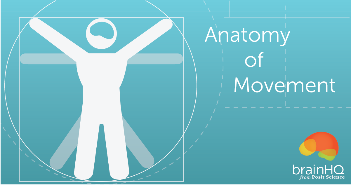 The Anatomy Of Movement Brain Connection